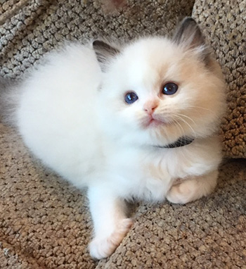 Adorabledolls Ragdoll kitten